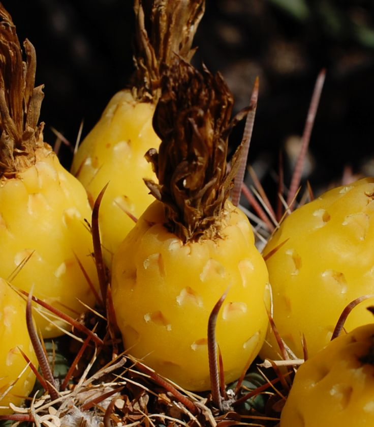 Other names: Fishhook Barrel Cactus, Candy Barrel Cactus, Compass Barrel Cactus, Biznaga de agua, Siml (Seri), chiávul (O'Odham) Edible parts:  Fruit, seeds, flower buds, inner flesh. Season of Harvest:  Buds are harvested in the early to mid summer.  Fruits are harvested from late November to March.  Flesh is harvested at any time.  The roots are harvested once cacti have fallen after storms. Processing & Preparation:  Flower Buds: The buds can be a challenge to harvest. I have used fla...