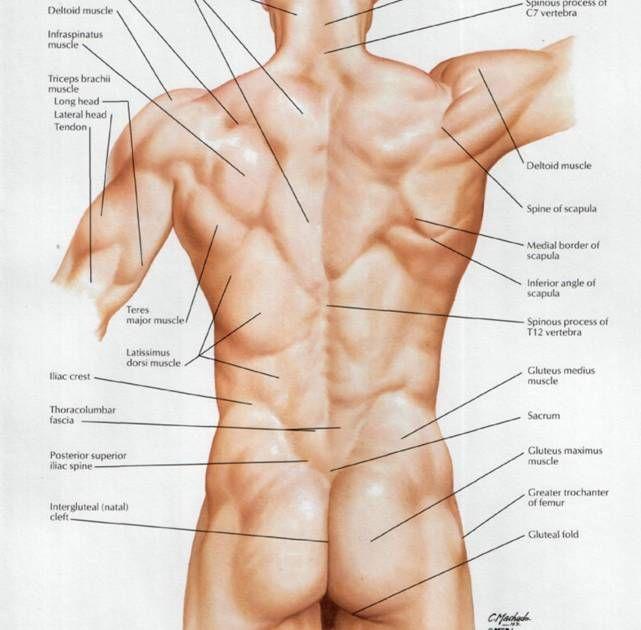 33 best Male Anatomy images on Pinterest | Human anatomy, Anatomy ...