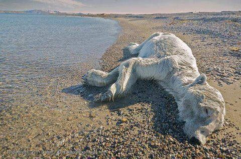 """Impact of Climate Change - A picture of a dead polar bear completely out of its environment with no ice anywhere near it's body. The poor animal traveled far away from its own environment and starved to death.  - """"Among the most alarming changes is the disappearance of native species"""" - Polar bears are moving farther north because they need the shelter of pack ice to give birth to their young"""