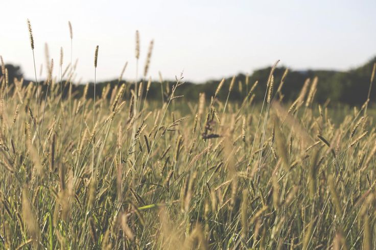 📸 plants crops agriculture - get this free picture at Avopix.com    📷 https://avopix.com/photo/24827-plants-crops-agriculture    #plants #wheat #crops #agriculture #cereal #avopix #free #photos #public #domain