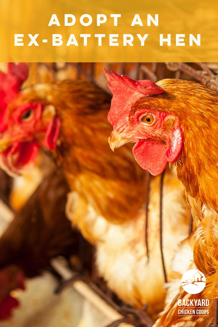 25 best ex battery hens images on pinterest hens chicken and
