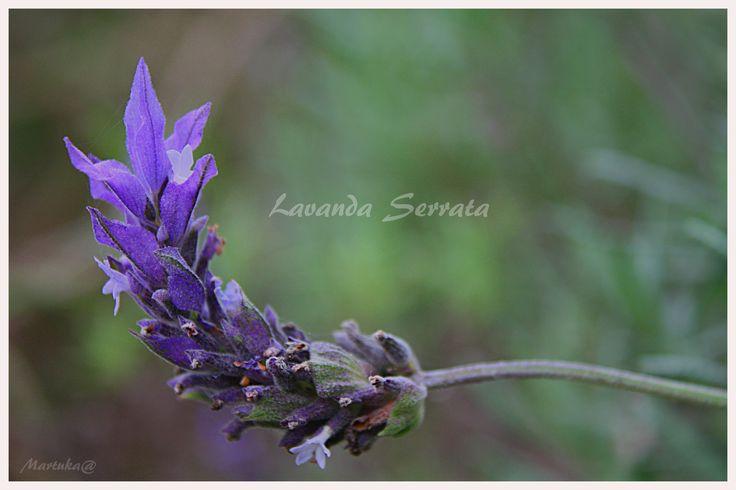 Lavanda, planta medicinal