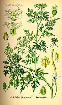 Hundspetersilie (Aethusa cynapium), giftig