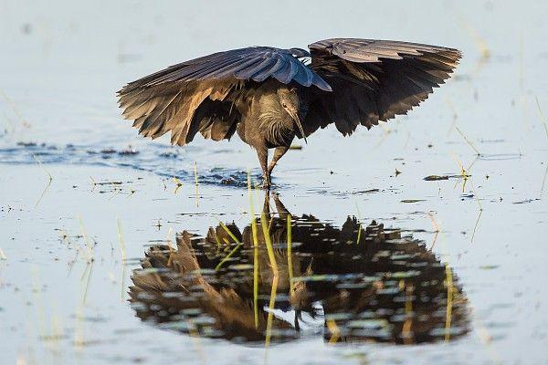 The Okavango Delta's inscription as a World Heritage Site is a major conservation milestone #Black_heron #DaytimeNighttimeBird