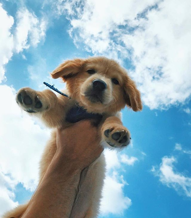 Did You Know Mygoldenteddy Has Tried Urbandogsolutions What A Little Cutie Right Cute Baby Animals Funny Dog Pictures Puppies