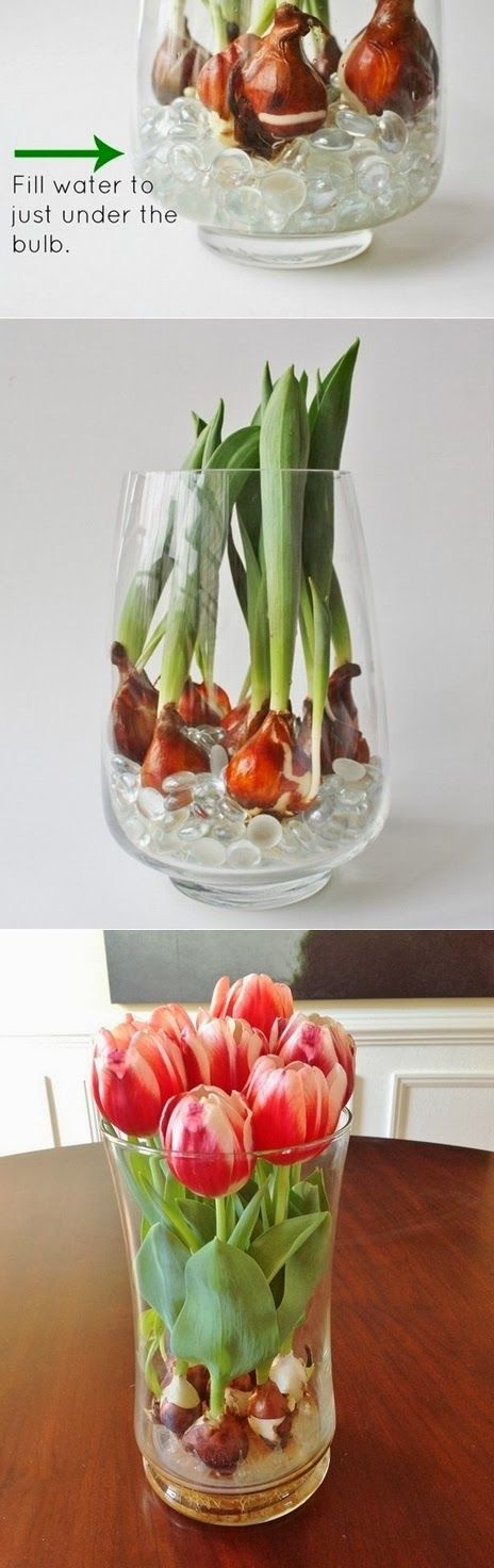 DIY Grow Tulips at Home! I love fresh flowers around the house, but this is a much more cost-effective option.