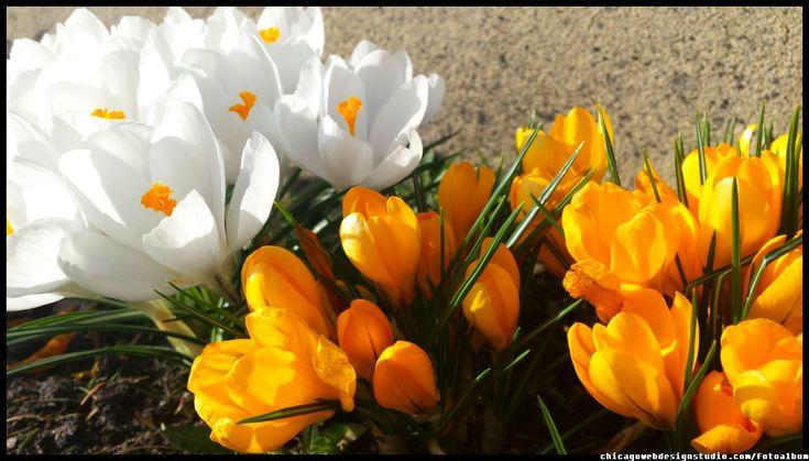 wiosenne krokusy w ogrodzie - kwiaty wczesną wiosną #kwiaty #flowers #polish flowers #polskie kwiaty #kwiatki #kwiaty ogrodowe #kwiaty polne #kwiaty leśne #przebiśniegi #śnieżyczki #pierwiosnki #kwiaty wiosenne #wiosna #spring #krokusy #przebiśniegi #hiacynty #przyroda #natura #kwiaty wiosenne #spring flowers #polish flowers #Polskie kwiaty #ogród #garden #ogrodnictwo #ogrodnik #garden-flower