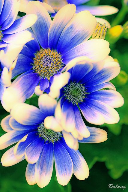 If you think daisies are just yellow and white, this stunner will surprise you with its cobalt-blue petals edged in cream.  For stunning MN #GardenDesign, visit us at http://www.aldmn.com