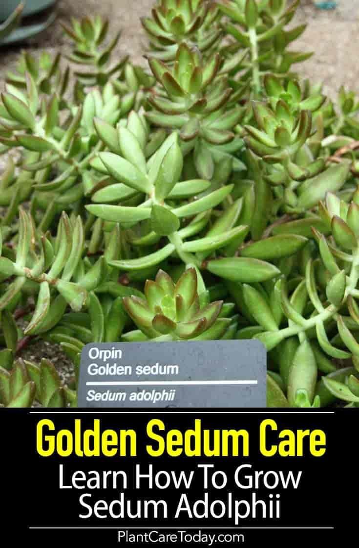 Golden Sedum Care Learn How To Grow Sedum Adolphii Plants