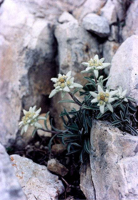 LeontopodIum Alpinum - Edelweiß, Alpes