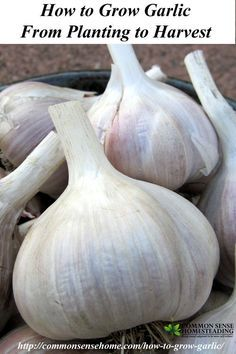 How to Grow Garlic. Where do I Get Garlic to Plant in My Garden? Different Types of Garlic. How to Plant Garlic. How and When to Harvest Garlic.