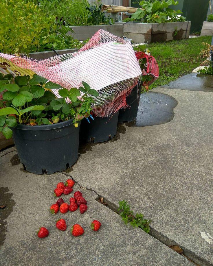 #strawberry #nz #garden #summer