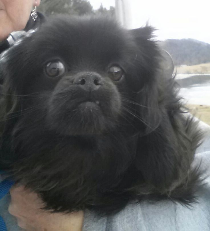 Petfinder Adoptable Dog Cavalier King Charles Spaniel