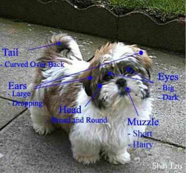 Imperial Shih Tzu Shih Tzu Puppy Every Dog Breed Teddy Bear Dog
