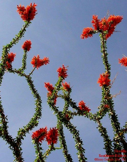 ocotillo my favorite cactus thats me pinterest plants i want and of. Black Bedroom Furniture Sets. Home Design Ideas