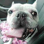French Bulldog Rescue Network :: Levon in VA...he's just fabulous :)