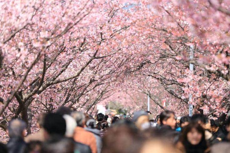 Tokyo sakura cherry blossom hanami