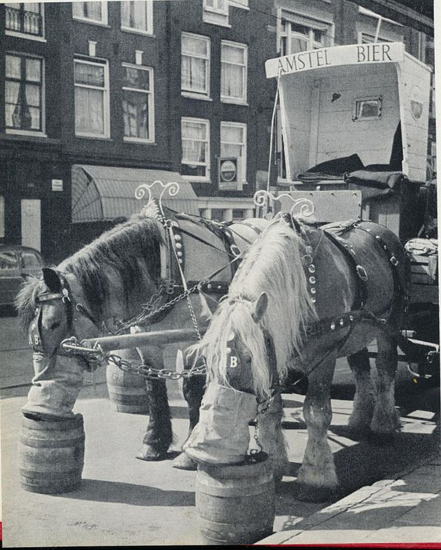 1957. During the fifties and sixties the Amstel brewerij in Amsterdam delivered beer to cafes by horse and cart. Horses are fed during a break. Photo Kees Scherer. #amsterdam #1957 #amstelbrewery
