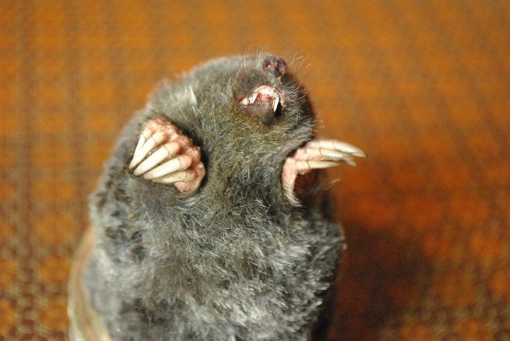 European Mole (Talpa Europaea) Half body mount (M17003)