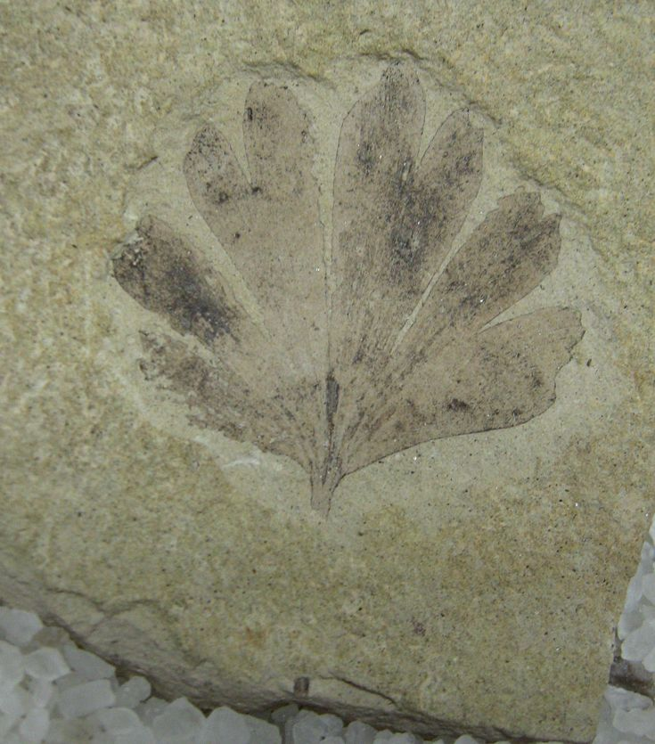 A 49-million-year-old Ginkgo dissecta fossil from the Klondike Mountain Formation in Washington state. | KEVMIN