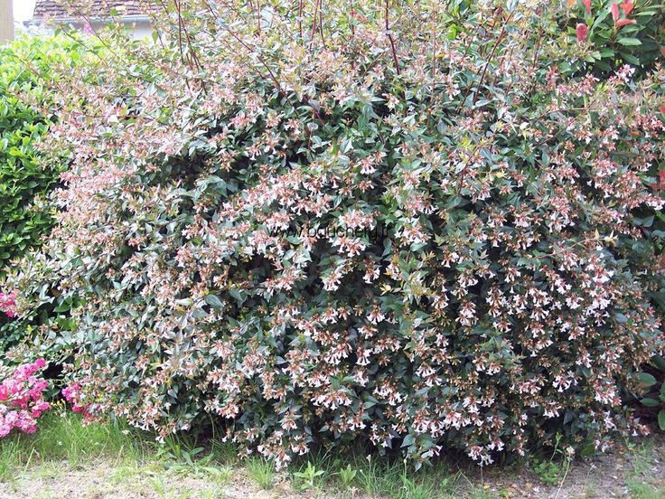 Abelia Blooms All Summer In Front Of Holly Bushes And