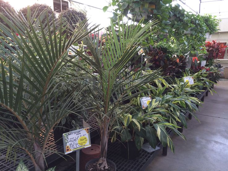 how to take care of a cat palm plant