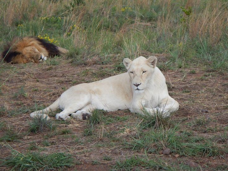south africa animal white lion 1