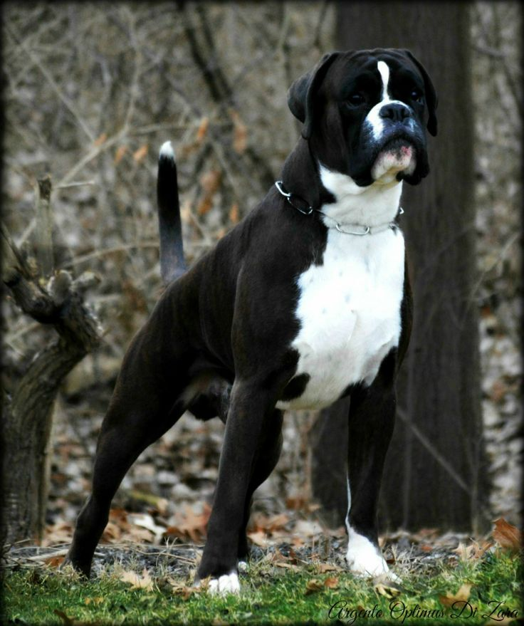 Argento Optimus Di Zara - HavenWoods Boxers * Top Quality AKC German and American Boxers. Based in Central Ohio, Show Quality, Working German boxers, Health Tested parents. Brindle, Fawn, Reverse Brindle, Sealed brindle. Boxer Puppies for sale.MA, ME, NJ, NY, CT, NH, European