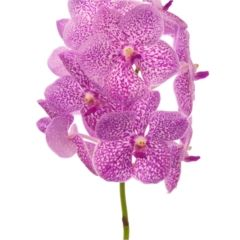 Vanda Orchid Pink Sprinkles are perfect for wedding flower arrangements! They create a natural and delicate look! Also great for decorating! Head over to www.trianglenursery.co.uk for more information! Great wholesale prices!