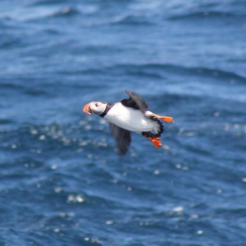 Flying Puffin! (In Newfoundland)