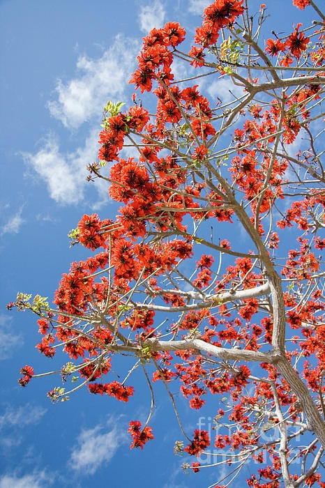 Coral tree - everywhere in San Diego