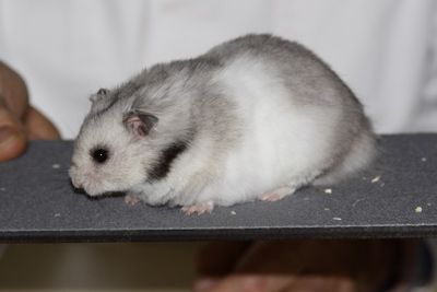 Silvergrey Syrian Hamster