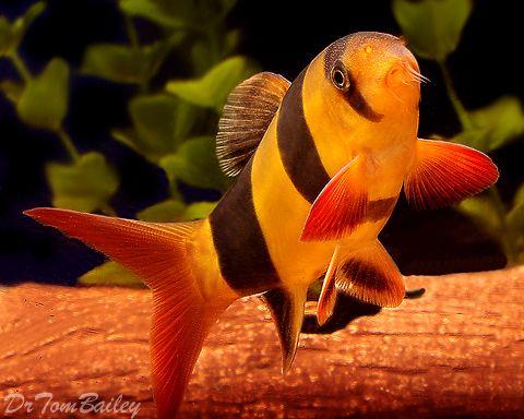 Clown Loaches at AquariumFish.net, where you can shop online for a Clown Loach.