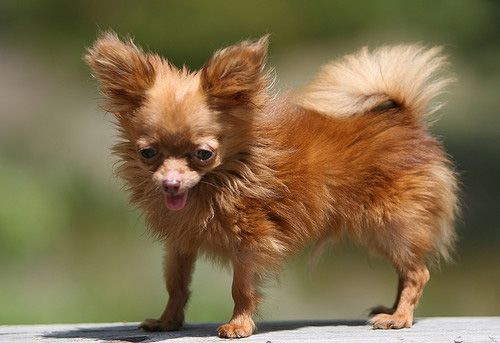 Formerly the smallest dog in the world, hopefully being tiny in heaven.