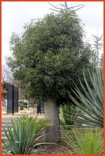 Brachychiton rupestris - Queensland Bottle Tree. Lovely - Lovely feature tree!