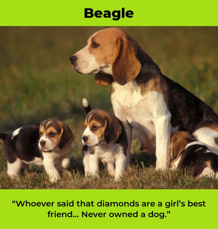 Beagles Forever Beaglemom Beagles Full Grown Bigl A Stenata