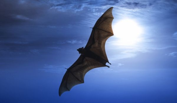 Съвети, въпроси и отговори за What Does it Mean if a Bat Flies Into your Home? Информация за Superstitions, Bats, Bat Superstitions, Bats in the Home, Beliefs about Bats, Meaning of Bat in Home