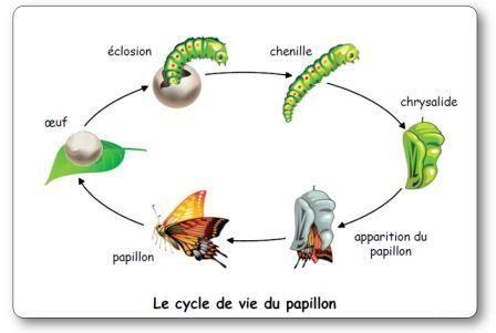 Un élevage de chenilles et de papillons en classe de maternelle