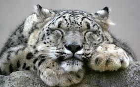 Resultado de imagen para leopardo de las nieves