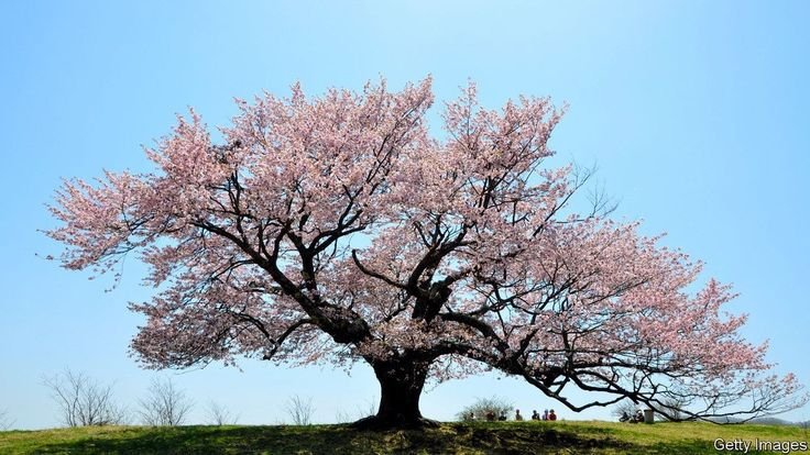 Take A Look At Our Latest Blog Post An Englishman Saves The Cherry Varieties In Japan Japanese Cherry Tree Cherry Tree Japanese Cherry