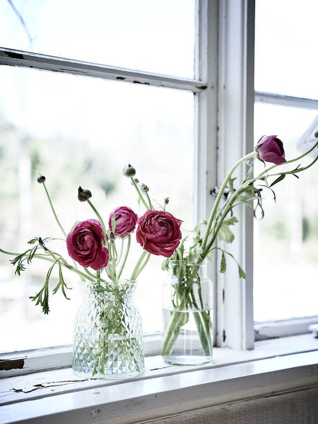 Ranunculus in the window of a charming Swedish summer cottage.