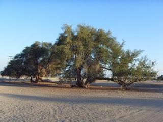 TAMARUGO TREE , RESERVA PAMPA DEL TAMARUGAL, ATACAMA DESERT CHILE