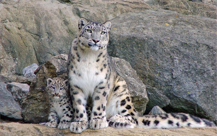 Обои дикие кошки, снежный барс, ирбис, мама, детеныш