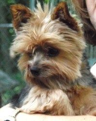 Libby is an adoptable Yorkshire Terrier Yorkie Dog in Nerstrand, MN. This email is monitored daily, however Nancy has NO email access. For fastest response please call or text 952 200 2884. Feel free ...