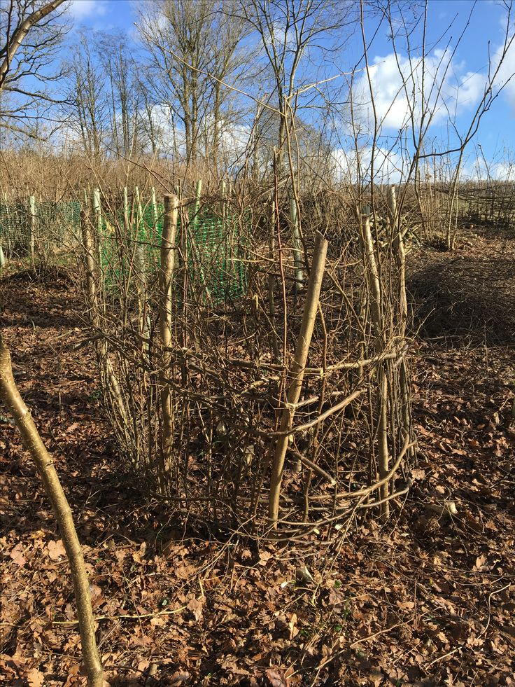 Hazel coppice protection