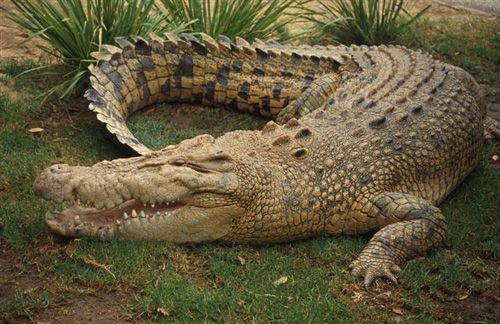 The saltwater crocodile is the largest of all living reptiles. An adult male saltwater crocodile's weight is 900 - 2,200 lbs and length is normally 13 -18 ft. However, mature males can exceed 20 ft and weigh more than 2,200 lbs. Saltwater crocodiles are found in parts of Queensland, Northern Territory and Western Australia. They live in rivers and swamps often traveling well upstream in the major rivers.