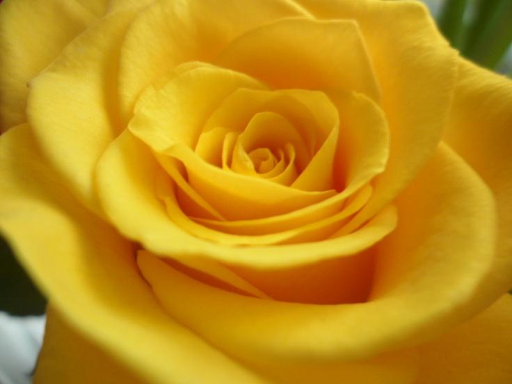 Yellow Rose.