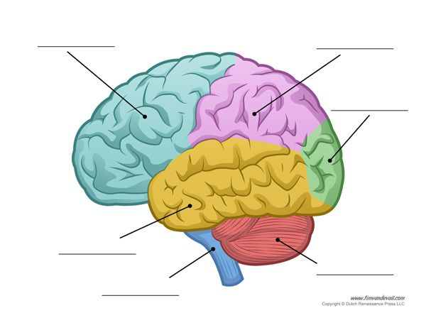 the 25+ best human brain diagram ideas on pinterest | brain, Muscles