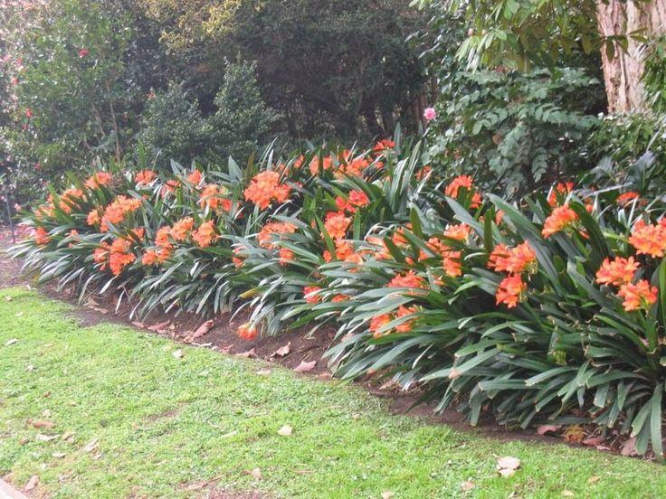 17 best images about cuidado de las plantas on pinterest las iguanas bird of paradise and cabo - Alegria planta cuidados ...