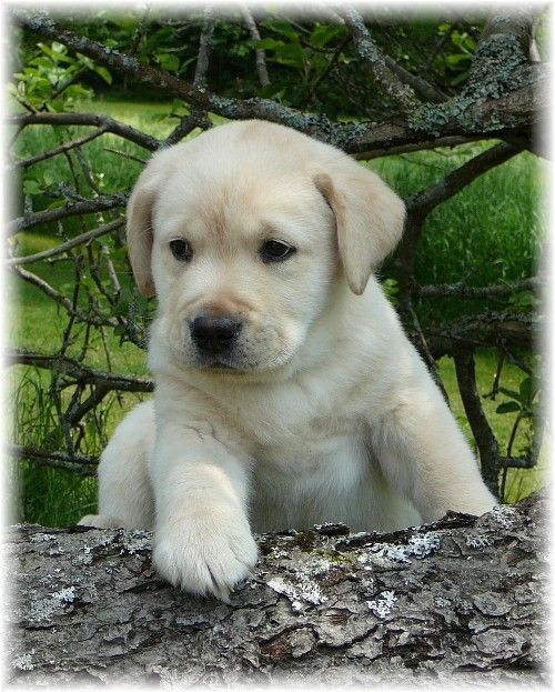 Welcome to Puddleduck Retrievers| Morrill Maine | Get a Maine black labrador, yellow labrador or chocolate labrador lab puppy | Maine hunting retrievers | We specialize Labrador Retrievers puppies and training. Looking for a hunting Labrador Retriever puppy? Lab Breeder in Maine.